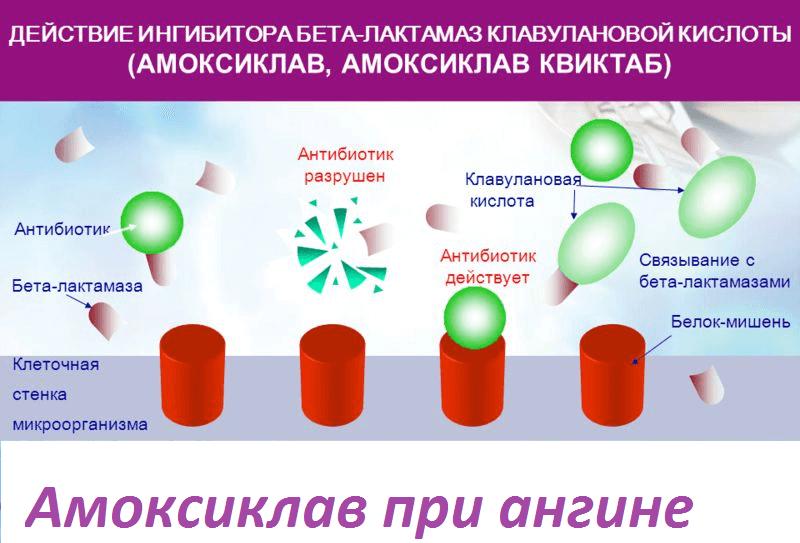 Действие антибиотика амоксиклав